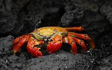 红螯相手蟹有多便宜?