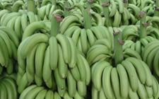 菲律宾求公平与日韩重新谈判香蕉关税