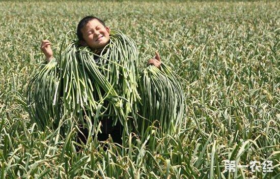 山东金乡市场大蒜价格连续下降 预测下周保鲜大蒜价格回暖
