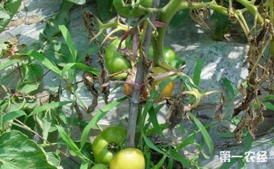 西红柿染上青枯病怎么办?西红柿青枯病的防治方法