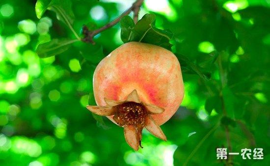 石榴树怎么施肥?石榴树种植的施肥技术