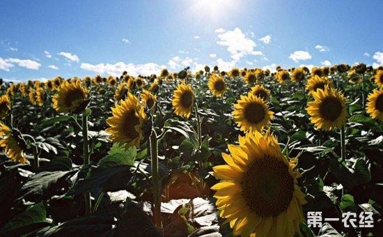 向日葵种植怎么施肥?向日葵的需肥特点与施肥技术