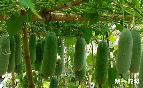 冬瓜种植怎么管理?冬瓜的肥水与田间管理要点