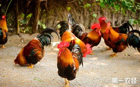 怎样正确诊断鸡高锰酸钾中毒?