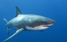 <b>鲨鱼的生活习性是怎样的?鲨鱼生活习性介绍</b>
