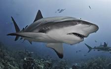 <b>鲨鱼是怎样繁殖的?鲨鱼的繁殖方式介绍</b>