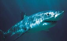 鲨鱼的种类有哪些?鲨鱼品种图片大全