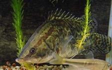 桂鱼得了纤毛虫病怎么办?桂鱼纤毛虫病的防治方法