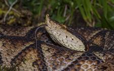 五步蛇的生活习性是怎样的?五步蛇生活习性介绍