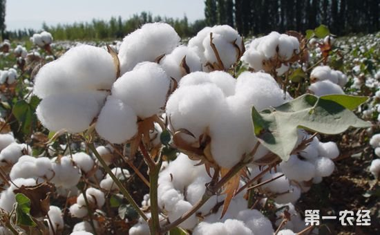 """我国是世界上棉花产量最多的地区之一,而新疆是我国棉花的主产区,我国大部分的棉花均产自新疆。近年来,新疆积极推进棉花产业供给侧结构性改革,推动棉花产业的健康发展,生产出高质量、高产量的棉花。   眼下,新疆南疆棉花采摘季已进入尾声,当地棉农忙丰收,收购商忙收购,外来拾花工也开开心心领了工钱,陆续踏上返乡之路。   这两天,新疆维吾尔自治区玛纳斯县北五岔镇黑沙窝村的农民向朝华正忙着交售新棉。今年,他加入新天地棉花种植专业合作社,和大家一起抱团种植棉花,通过统一品种、统一种植、统一管理等""""六统一""""模式,棉花籽棉亩产到达了420公斤,比去年增产20%。   向朝华:今年种了370亩地,平均单产420公斤,算了一下今年的纯收入要在40万左右。今年,加入了合作社统一种植、统一管理、统一销售使我种的棉花增产,棉花品质也好。   作为传统种棉大县,玛纳斯县今年种植棉花78万亩,为降成本,玛纳斯县借鉴兵团""""六统一""""模式,推行合作社抱团采购、规模化作业模式,全县棉花机械化采收达到90%。而优质优价的收购政策倒逼棉农选择优质棉种、加强了棉花田间管理,秋收时节棉花各项检测指标明显上升。   中棉集团玛纳斯棉业有限公司经理肖守亮介绍,截止目前,公司已经收购籽棉2.1万吨,加工皮棉4000吨。根据公检系统检验的数据,皮棉长度在双29以上的棉花占到加工量的80%以上。   肖守亮:今年的棉花质量比去年有了很大提高,长度29的棉花比去年增加了20%以上。根据公验结果来看,今年自治区棉花供给侧改革在提升棉花质量这一块起到了很大的促进作用。   在紧邻哈萨克斯坦的新疆博尔塔拉蒙古自治州,欢快氛围一样荡漾在广大棉田。今年,博尔塔拉蒙古自治州棉花种植面积145万亩,比上年增加了10万亩。当地农经局对全州棉花生产成本和收益情况进行了调查。结果显示:2017年全州棉花单产预计为370公斤,比上年增加了30公斤。   同时,因为推行规模化种植、统一采购农资、大力推广机采棉,棉花种植成本大幅降低,加上国家棉花目标价格托底,预计棉农亩均收益可以达到900元,比去年增加300多元。这让棉农心里挺开心,博乐市达勒特镇棉农李春勇:   李春勇:2017年天气特别好,所以棉花丰收。今年价格比去年市场价格稍微低个两三毛,在六块多钱左右,加上补贴达到七块,整体来说老百姓还是挺满意的。   同样品尝着丰收喜悦的还有外来拾花工。今年尉犁县共种植棉花108万亩,其中60万亩需人工采摘,共引进疆内外拾花工6万余人,人均拾花4600公斤,人均收入近万元。为确保农民工顺利领取工钱,安全返乡,尉犁县人事劳动和社会保障局开辟农民工维权""""绿色通道"""",畅通维权热线。尉犁县兴平乡达西村棉农司光科:   司光科:我今年种了200来亩棉花,一是老天帮忙,再加上自己努力,产量可以,总产能达到80吨往上一点。工钱支付这一块得16万多。棉花工也不容易,我们提前就把钱都准备好的,拿现金给他付现钱,想汇款的,我们把钱汇到卡上,叫他们安心地回家。   棉花产量增加、质量提升,让众多棉农收益增加。下游的加工企业也从中看到光明前景。今年,不少加工企业加大了技改投入。在种棉大县玛纳斯县,乐土驿镇宏祥棉业公司就投资200多万元,对棉花加工设备进行升级改造,提升了机采棉加工能力和加工质量。副厂长刘文成介绍,目前,宏祥棉业收购籽棉1.4万吨,加工皮棉6000多吨。   刘文成:长度,排杂率都有所提高,从以前27、28长度提高到现在的29到30,含杂率从以前的3.0到2.8降到现在的1.2到1.3之间,棉花在市场上竞争力相当好的,皮棉比以前每吨提高了300到500块钱。   下一步,玛纳斯县将进一步引导棉纺企业贯彻新发展理念,继续加大资金投入,购置先进生产线,提高棉花加工质量和进度,提质增效,促进企业可持续发展。玛纳斯县乐土驿镇宏祥棉业有限公司副厂长刘文成:   刘文成:十九大报告提出,必须坚持质量第一,效益优先,以供给侧结构性改革为主线。让我们在今后的发展中更有信心,我们要以科技生产创新为主线,继续加大资金投入,使生产出来的皮棉质量在市场竞争中有所提高,我们要用质量去占据市场,生产更优质的皮棉,更有竞争优势。"""