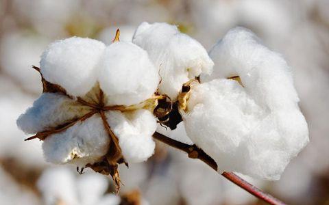新疆积极推进棉花供给侧结构性改革 推动棉花产业健康发展