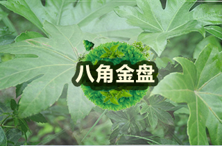 【八角金盘专题】八角金盘种植与管理|病虫害防治