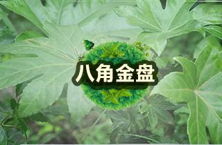【八角金盘专题】八角金盘澳门皇冠官网与管理|病虫害防治
