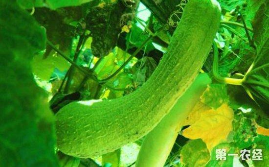 怎么种植丝瓜?丝瓜的优质高产栽培技术