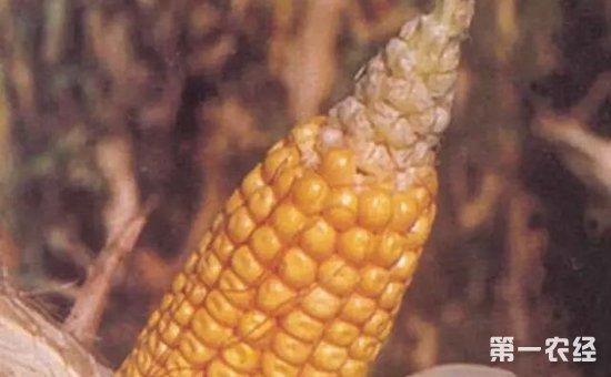 玉米缺粒怎么办?玉米缺粒的原因和解决措施