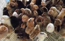 现代化养鸡场怎样给雏鸡苗提供合理光照?