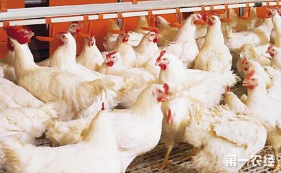 三层笼养肉鸡早春饲养要重视哪些问题?