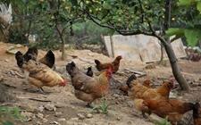 养鸡为何不赚钱?养鸡不可错入误区