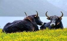 <b>耗牛的生活习性是怎样的?耗牛的生活习性介绍</b>