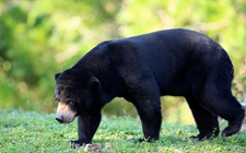 <b>马来熊是什么动物?马来熊资料介绍</b>