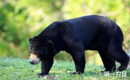 马来熊是一种很可爱的动物,它的体型很小,是熊类中体型最小的动物.
