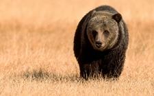 <b>棕熊的生活习性是怎样的?棕熊的生活习性介绍</b>