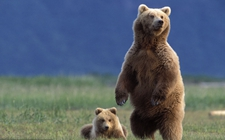 棕熊是怎样繁殖的?棕熊的繁殖方式介绍