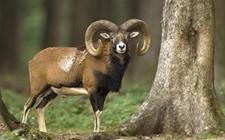 盘羊的生活习性是怎样的?盘羊的生活习性介绍