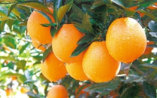 <b>汇通达农产品上行如火如荼 赣南脐橙实现零时差销售</b>