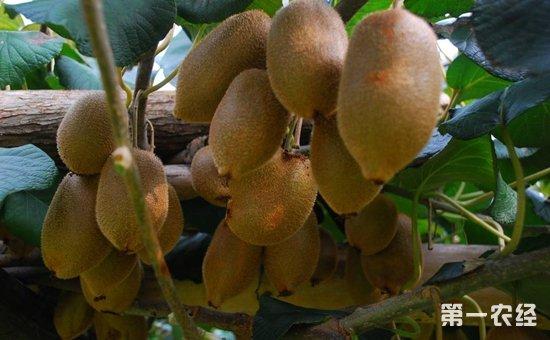 猕猴桃怎么育苗?猕猴桃种植的育苗技术