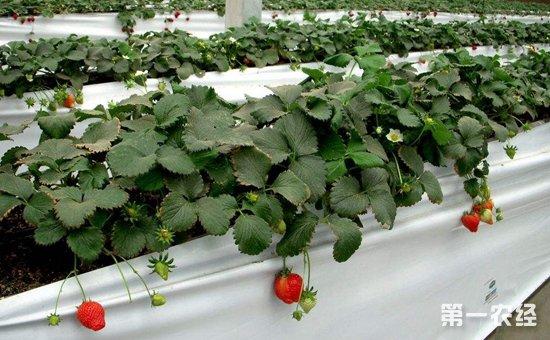 草莓种植怎么进行无土栽培?草莓的无土栽培技术