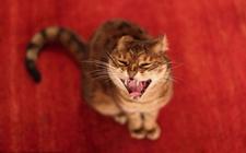 威尔士猫是什么猫品种?威尔士猫的外貌特征是怎样的?