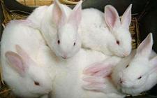 兔子得了兔虱病怎么办?兔虱病的防治方法有哪些?