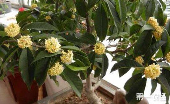 桂花盆栽怎么养 盆栽桂花的养殖方法和注意事项