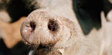 冬季如何防治猪气喘病?猪出现气喘现象怎么办?