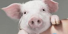<b>猪的硒、维生素E缺乏症的诊断和防治</b>