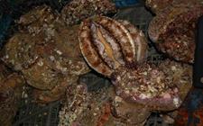 <b>鲍鱼的养殖方式有哪些?不同鲍鱼养殖方式优劣比较</b>