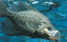 <b>鳜鱼得了纤毛虫病怎么办?鳜鱼纤毛虫病防治方法</b>