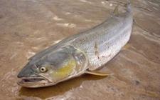 <b>鳡鱼养殖技术是怎样的?鳡鱼养殖技术介绍</b>