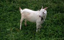<b>白山羊的种类有哪些?白山羊品种图片大全</b>