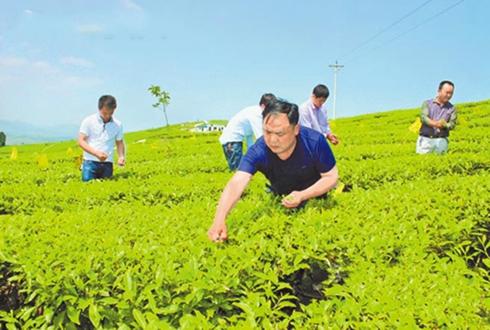 退伍军人王明礼:种茶十年 带动村民就业脱贫
