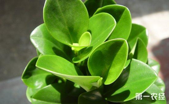 盆栽植物冬季怎么养?8种常见盆栽植物的冬季养护要点