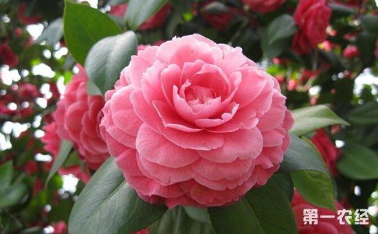 图:茶花-盆栽植物冬季怎么养 8种常见盆栽植物的冬季养护要点