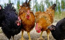 2017年12月12日最新鸡蛋价格行情 淘汰鸡价格行情 白羽肉毛鸡价格行情