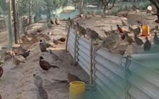 山鸡舍建设不可忽视的几大问题是什么?