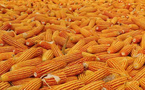 辽宁省今年玉米总产量预计有290亿斤 收购形势较为平稳