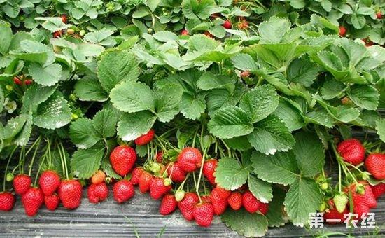 草莓悄然上市 价格高达25元每斤