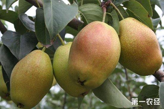 12月12日几大梨产地酥梨价格行情走势