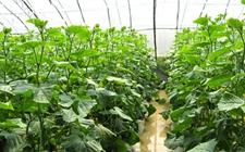 越冬茬黄瓜怎么种植?日光温室越冬茬黄瓜的栽培技术要点