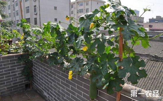 盆栽丝瓜怎么种植?盆栽丝瓜的种植方法
